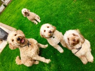 All the blonde curly dogs!